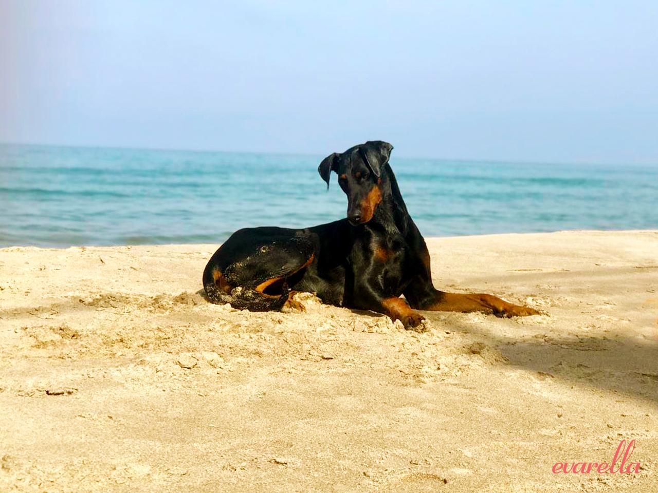 Dobermann Rosie am Strand von Trabia (Palermo)