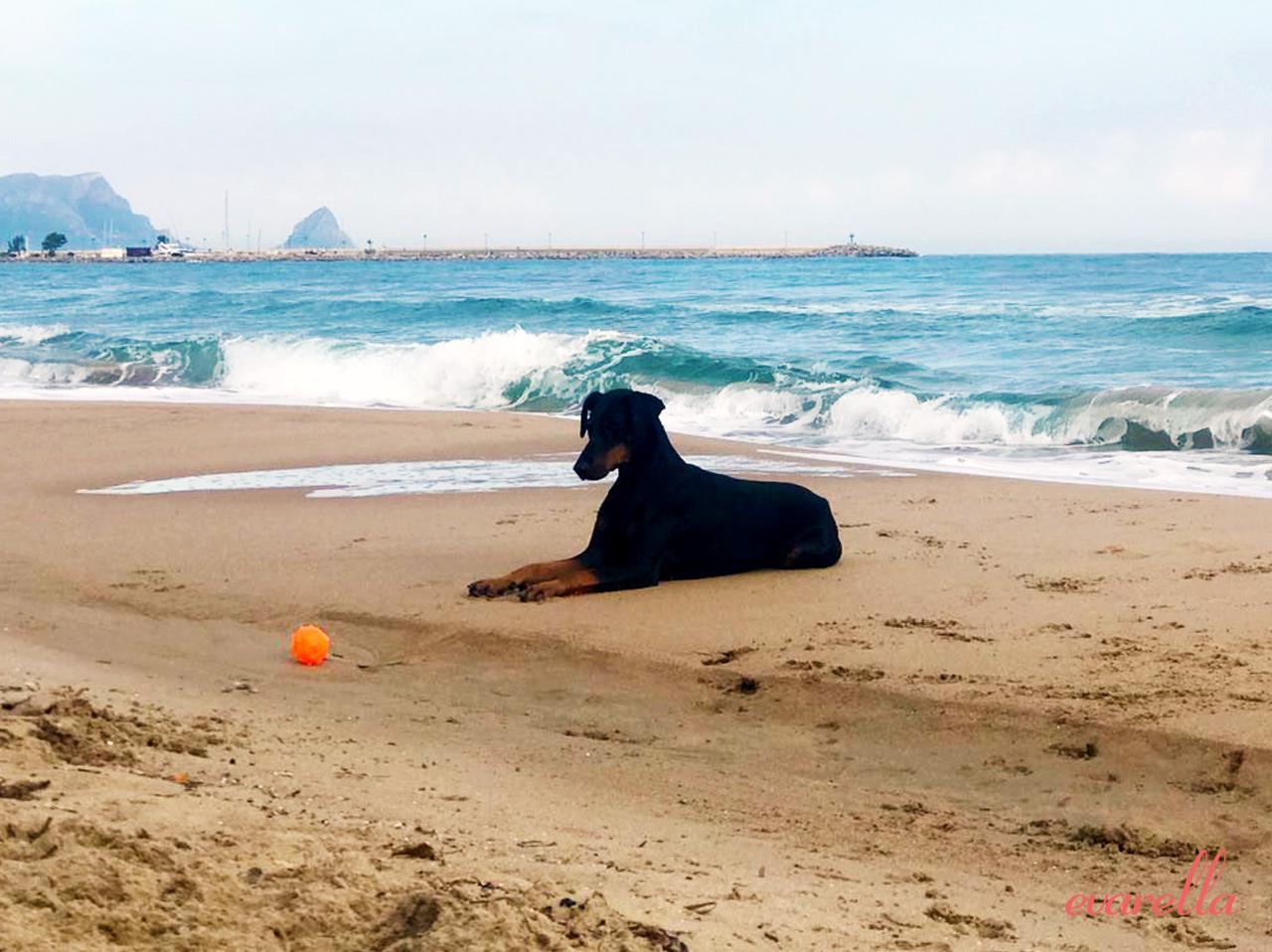 Dobermann-Hündin Rosie am Strand von Trabia (Palermo)